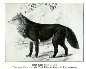 Animal-Black-Wolf-Extinct-Pennsylvania-Animals