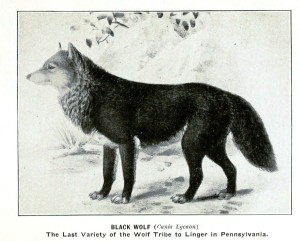 Animal-Black-Wolf-Extinct-Pennsylvania-Animals